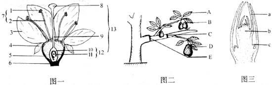 梨树枝条和枝芽结构示意图