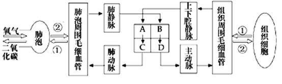 下图为人体血液循环过程模式图
